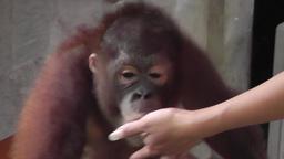 Baby orangutan Videos de Stock