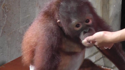 Baby orangutan Archivo