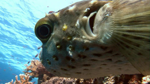 Diving in the Red sea near Egypt. The puffer fish over colorful coral reef Footage