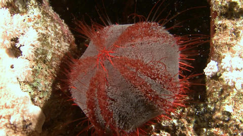 Diving in the Red sea near Egypt.Mysterious night dives. Sea urchin asthenosoma Footage