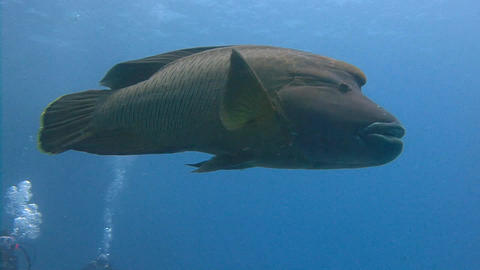 Diving in the Red sea near Egypt. Fun dives with big fish Napoleon Live Action
