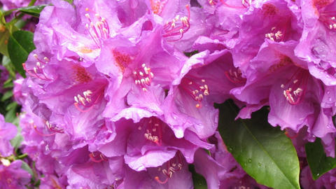 Dark pink rhododendron blossom close-up, detail with rain drops on petals, Animation