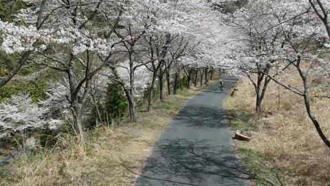 桜並木のトンネル-空撮 ビデオ