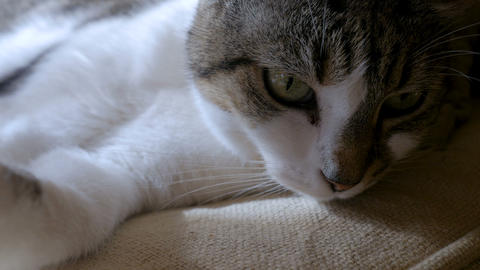 Close up of a purring cat lying down staring or looking at something with a Footage
