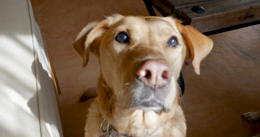 Close up of a happy yellow or golden labrador retriever dog sitting, wagging her Footage