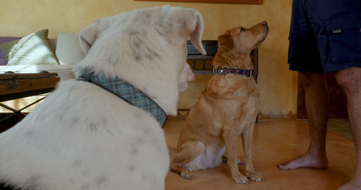 Two well behaved large mixed breed mutt dogs sitting and staying while getting Live Action