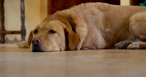 Low angle of a golden or yellow labrador retriever dog lying on the floor, Footage