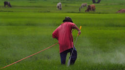 Asian farmer spraying pesticide to rice by insecticide sprayer in the paddy Archivo