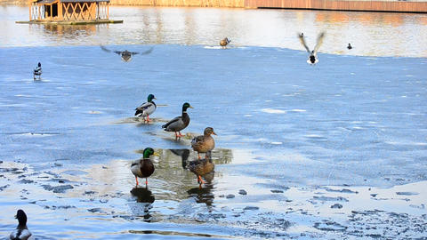 Several wild ducks take wing one after another Footage
