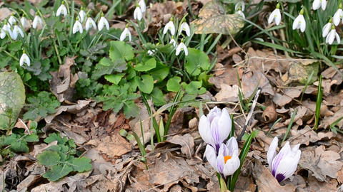 Crocuses and snowdrops blown by wind Footage
