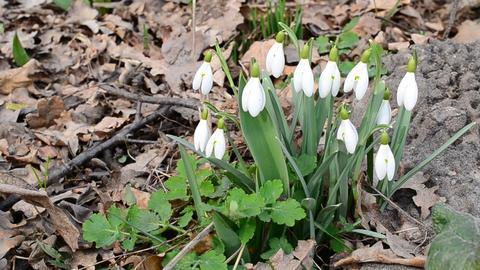 Several blooming snowdrop flowers blown by wind Footage