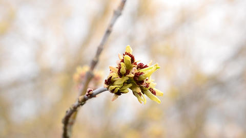 Opening buds of box elder tree swaying in wind Live Action