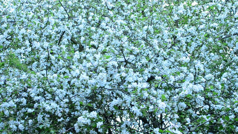 Malus domestica. White apple tree blossom fills the frame Footage