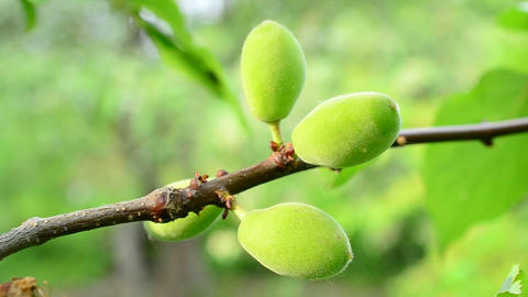 Close-up of unripe green apricot tree fruits blown by wind Footage