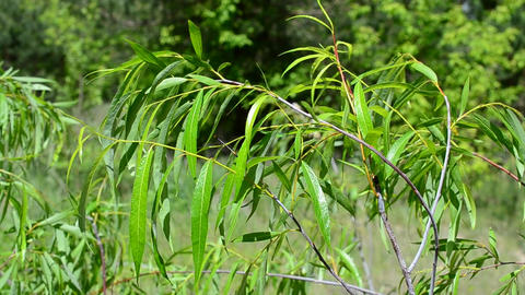 Beautiful willow branch with fresh light green lush foliage Footage