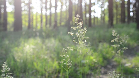 Common meadow-grass panicles blown by wind in forest Footage