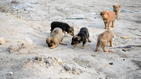 Many cute colorful mongrel puppies being fed outdoors Footage