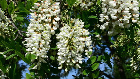 Beautiful black locust blossom swaying in wind with a bee Footage