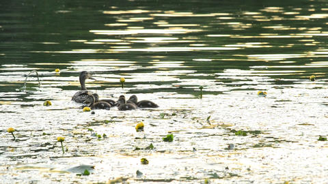 Duck with ducklings swim in pond with yellow water lilies Footage