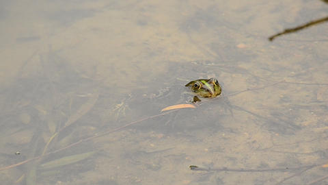 Pool frog or marsh frog floats in water, dips and swims away Footage