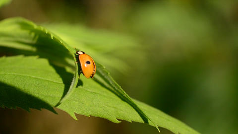 Two-spotted ladybird beetle unfolds and folds its wings Footage