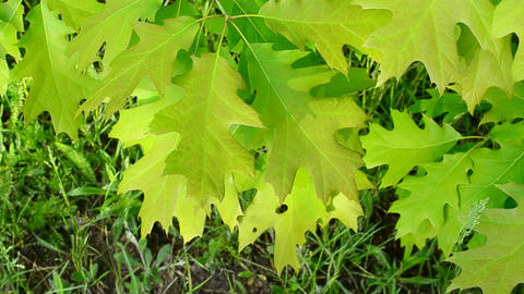Vibrant, lush, green foliage of northern red oak tree stirred gently by breeze Footage