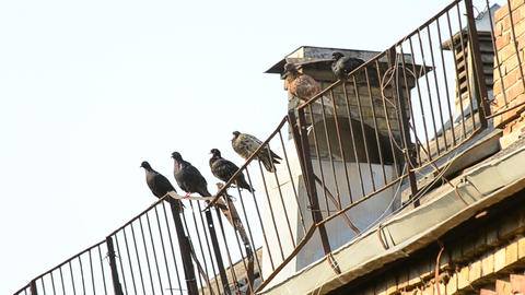 Pigeons sit on roof enclosure in the morning cleaning feathers Live Action