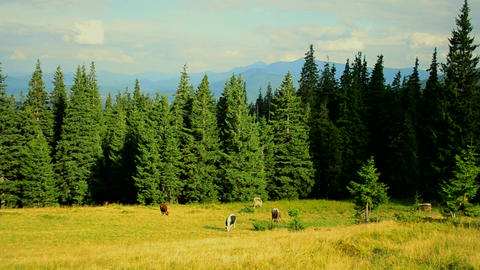 Cows grazing on pasture in mountains on background of fir forest Footage