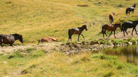 Herd of horses walk along a lake in mountain landscape in summer Footage