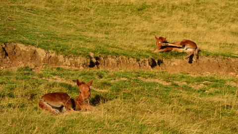 Two cute brown foals lie on pasture in field and relax at dawn Footage