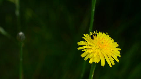 Worker bee collects pollen on yellow dandelion flower in summer Footage