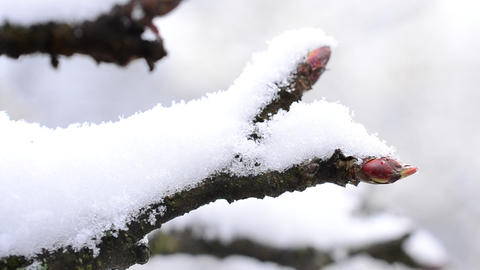 Apple tree twig with mature buds with snow falling onto it Footage