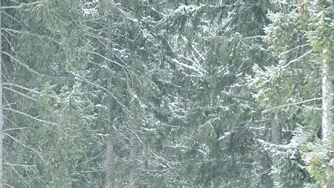 Snow falls on background of green fir trees filling the frame Footage