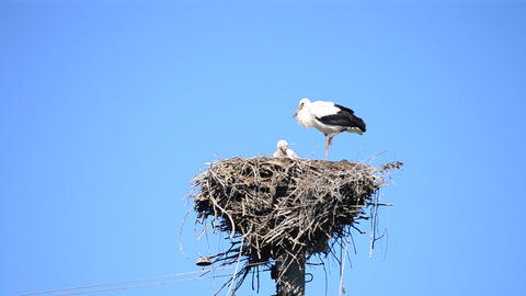 Two storks in nest. One stork stands on one leg Live Action