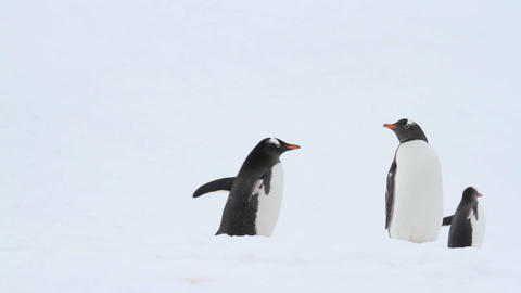 Gentoo Penguins in Antarctica Footage