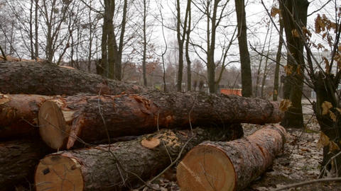 Logs lie on the ground in the forest Archivo