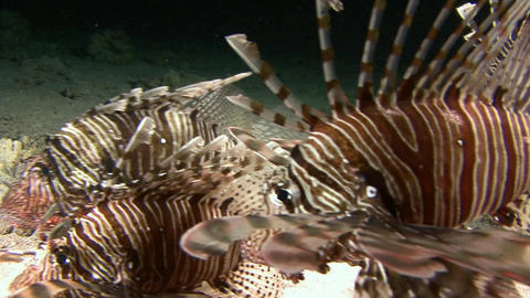 Diving in the Red sea near Egypt. Mysterious night dives. Lionfish are nocturnal Footage
