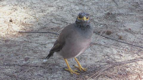 Common Myna bird Footage