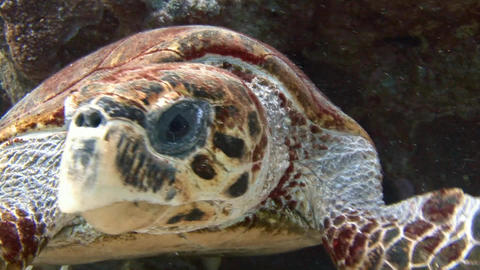 Diving in the Red sea near Egypt. The Hawksbill turtle closeup Footage