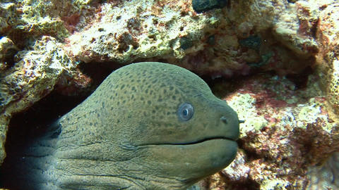 Diving in the Red sea near Egypt. Angry giant Moray eel Live Action