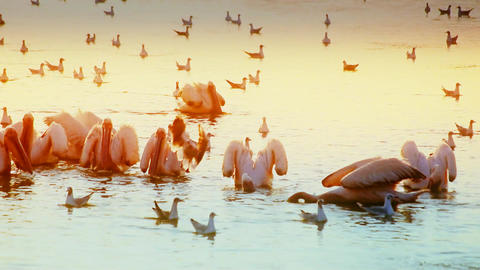 Pelicans fishing and hunting at dawn Footage