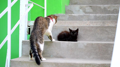 Domestic cat with red collar meets small black stray kitten Footage