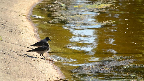 One crow eats dead fish, and the other drinks water Live Action