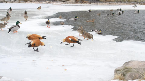 Feeding of wild ducks and ruddy shelducks in winter on ice Footage
