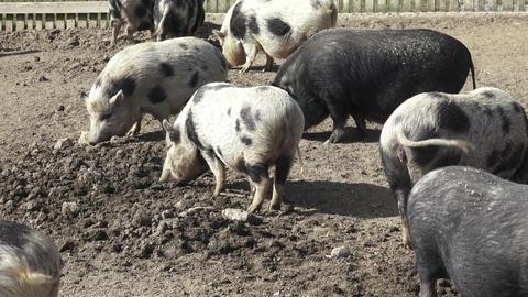 Piglet (Sus scrofa domestica) at an organic farm Live Action