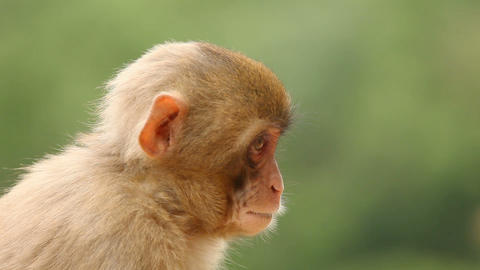 Japanese Macaque In Nature Footage