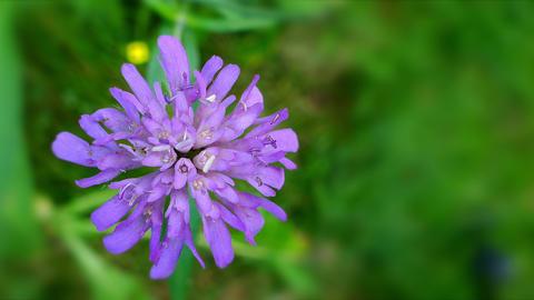 One purple flower Footage