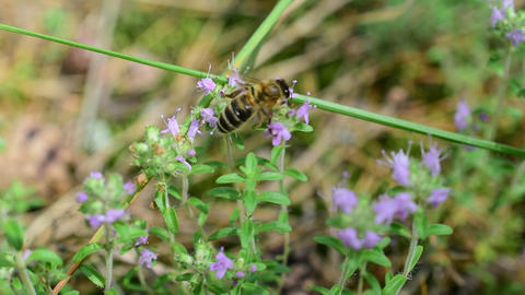 Bees gathering honey from thyme flowers Footage