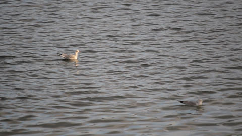 Two seagulls take wing from water Footage