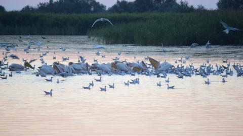 Many birds forage on water at dawn Acción en vivo